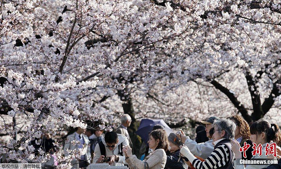 Sakura, les fleurs de cerisier au japon